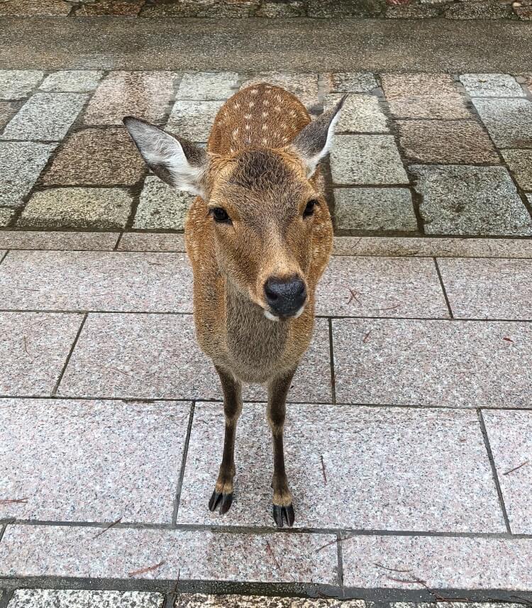 A young deer close up