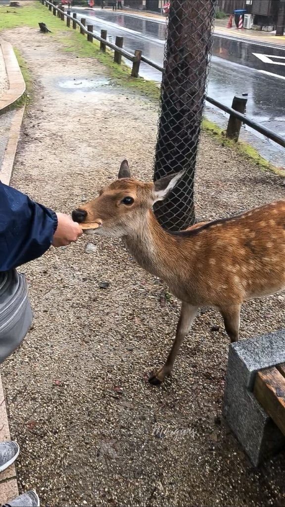 A young deer being fed a deer cracker at Nara deer park
