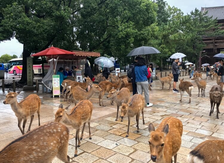 Lots of deer interacting with tourists in Japan