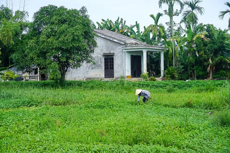Vietnamese farming green rice paddy in Hoi An countryside Vietnam