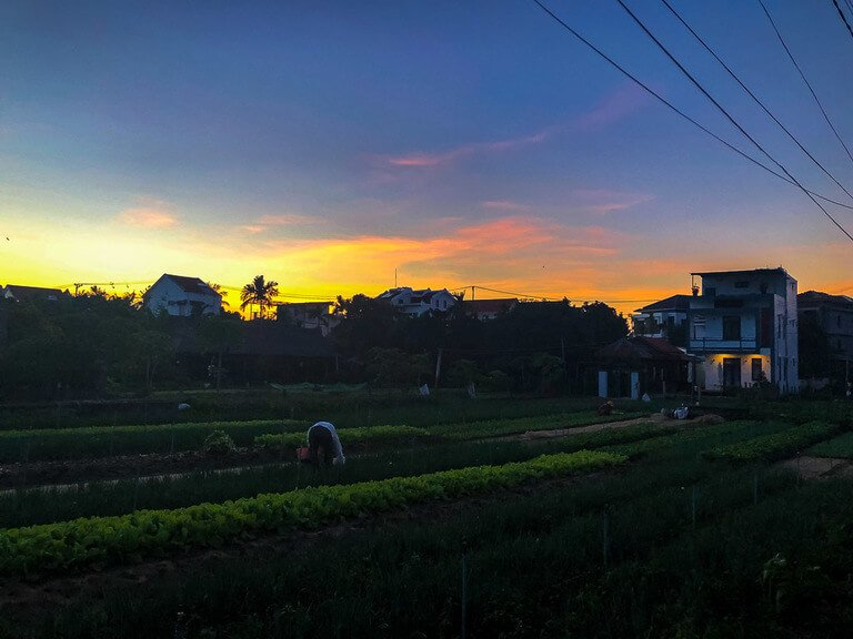 farmers tending to rice at sunset in Hoi An