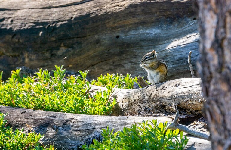 Chipmunk eating food sat on a log in Custer state park