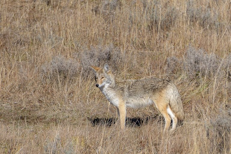 Coyote camouflage into bush and long grass 4 days yellowstone itinerary