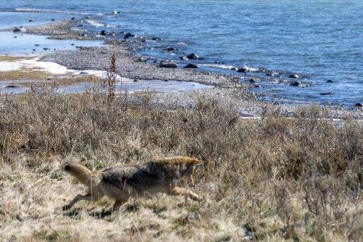 Coyote pouncing on prey Yellowstone Lake