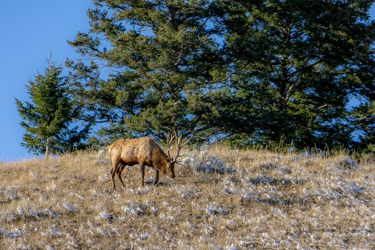Male mule deer or elk on side of a hill Yellowstone national park