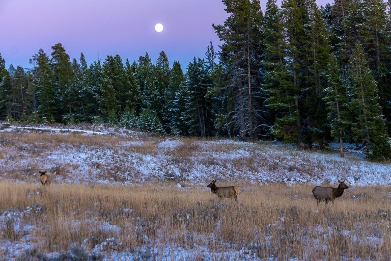 Mule deer at dusk moon in purple sky Yellowstone 4 days itinerary