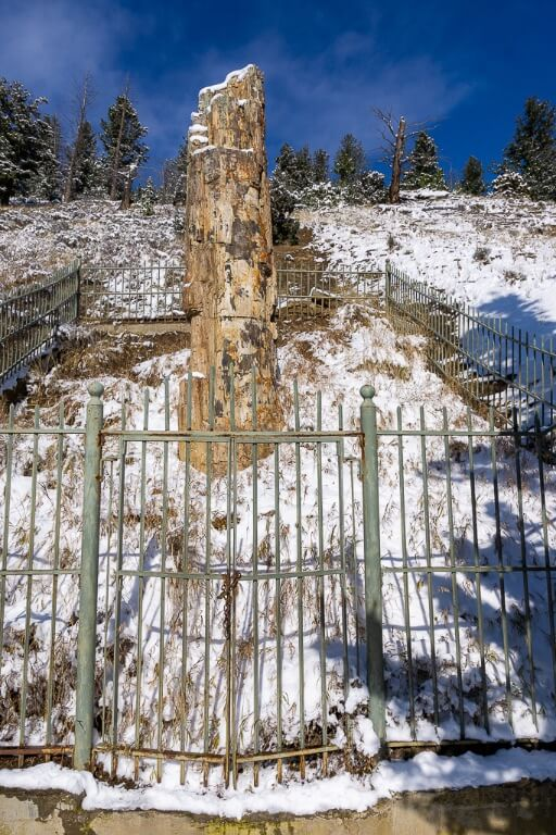 Yellowstone petrified tree behind gate 50 million years old