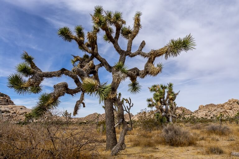 Huge Joshua Tree with long branches one day at the national park