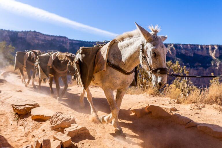 Horses walking on a dusty track in Arizona